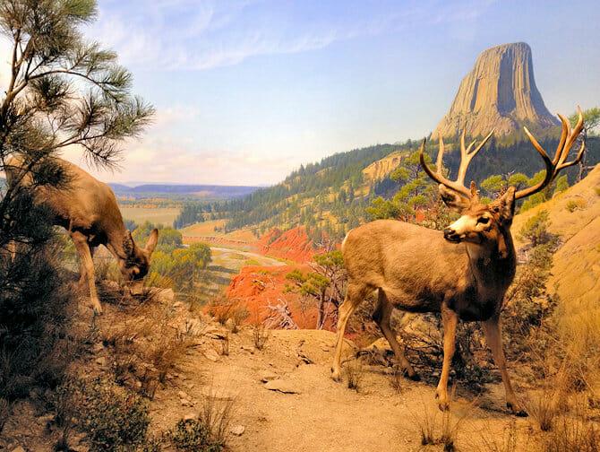 American Museum of Natural History in New York - Amerikanische Säugetiere