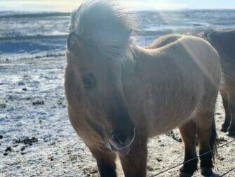 Zwischenstopp auf Island auf dem Weg nach New York Islandpferd