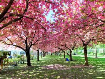 Botanische Gärten in New York - Kirschblüten